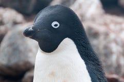 在保莱特岛的Adelie企鹅 库存照片