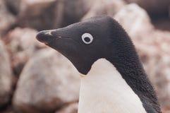 在保莱特岛的Adelie企鹅 图库摄影