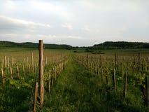 在修剪以后的葡萄园在Balaton湖 免版税库存照片