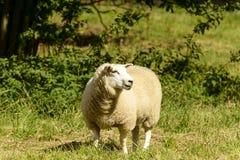 在修道院公园01, Lacock的绵羊 免版税库存照片
