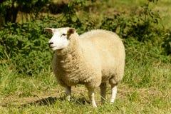 在修道院公园02, Lacock的绵羊 库存图片