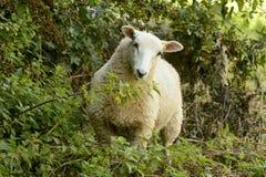 在修道院公园03, Lacock的绵羊 图库摄影