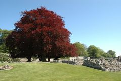 在修道院旁边废墟的紫叶欧洲山毛榉树  免版税图库摄影