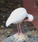 在修饰的白色朱鹭他的羽毛期间 免版税库存照片