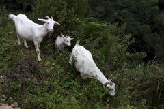 在倾斜的三只白色布尔人山羊 免版税库存照片