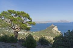 在倾斜的寡妇杉木在海岸附近 免版税库存图片