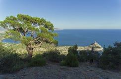 在倾斜的寡妇杉木在海岸附近 库存图片