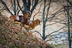 在倾斜的山公羊 免版税库存照片