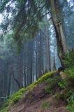 在倾斜的杉树在森林里 免版税库存照片