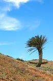 在倾斜01的兰萨罗特岛棕榈 图库摄影
