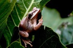 在假寐的一只雨蛙 库存照片