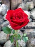 在假山花园的红色玫瑰 免版税库存图片