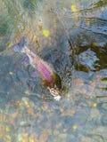 在假虫饵钩的当地狂放的Redside虹鳟 免版税库存图片