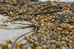 在假装海湾的公牛海带 图库摄影