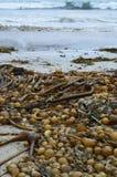 在假装海湾的公牛海带 免版税库存图片