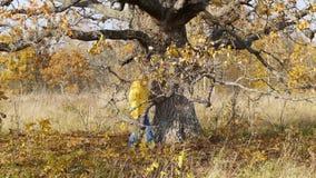 在偏僻的老橡树背景的秋天步行  股票录像