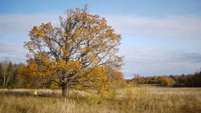 在偏僻的老橡树背景的秋天步行  股票视频