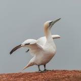 在偏僻的海岛Helgoland的美好的gannets在北海  免版税库存图片
