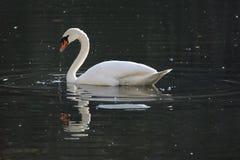 在做的湖的白色天鹅哺养和在水中起波纹 库存照片