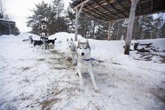 在停车场的拉雪橇狗 免版税库存图片