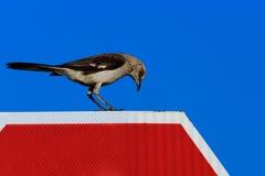 在停车牌的模仿鸟 图库摄影