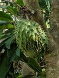 在健康树的异乎寻常的刺番荔枝果子与叶子 免版税图库摄影