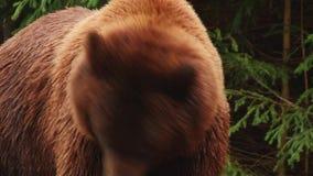 在储备的棕熊戏剧 影视素材
