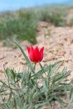 在储备的特写镜头红色野生郁金香近的登上博格多 库存图片