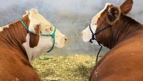 在储蓄展示的牛 库存照片