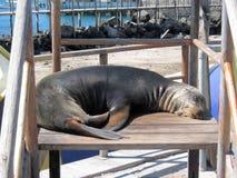 在儿童游戏设备,圣克里斯托瓦尔,加拉帕戈斯群岛的海狮 库存照片