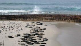 在儿童的水池的封印海滩在拉霍亚 影视素材