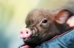 在儿童胳膊的逗人喜爱的微型小猪 免版税库存照片