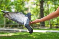 在儿童` s手上的鸽子 库存图片