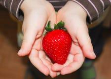 在儿童` s棕榈的水多的草莓 草莓在手中 库存照片