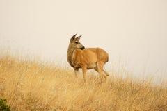 在充分小山的严重的鹿域 库存图片