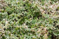 在充分构筑的夏天竹叶子灌木 库存照片