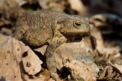 在充分森林地板的青蛙干叶子 紧密,在阳光下 免版税库存照片