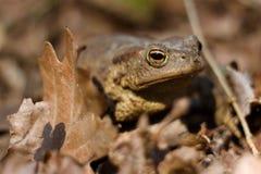 在充分森林地板的青蛙干叶子 紧密,在阳光下 免版税图库摄影