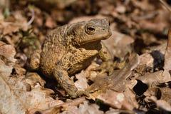 在充分森林地板的青蛙干叶子 紧密,在阳光下 免版税库存图片