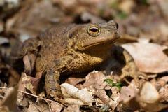 在充分森林地板的青蛙干叶子 紧密,在阳光下 库存照片