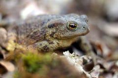 在充分森林地板的青蛙干叶子 紧密,坐在树荫下 库存照片