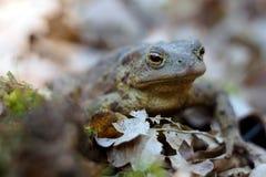 在充分森林地板的青蛙干叶子 紧密,坐在树荫下 免版税库存图片
