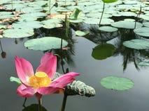在充分池塘的唯一莲花莲花浮动叶子 库存照片