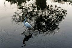 在充分河的大白色鸟苍鹭反射和阴影 免版税库存图片