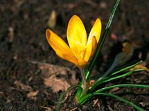 在充分的开花的一朵黄色番红花在棕色地球增长 图库摄影
