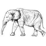在充分的成长的剪影大象 库存图片