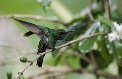 在充分的攻击的一只蜂鸟 免版税图库摄影