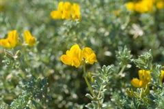 克里特岛鸟脚三叶草在春天 图库摄影