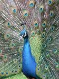 在充分的显示的公印地安孔雀 库存照片