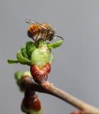 在充分的樱桃芽的第一只蜂 图库摄影